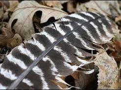 zebra tuy